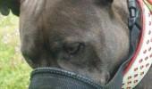 pitbull insotitor 3