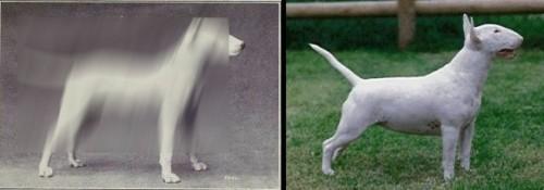 Bull Terrier, Boxer, Bulldog etc. 100 de ani de evoluţie a rasei