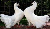 Porumbeii cei inteligenți
