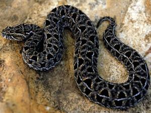 Panică într-o toaletă din Ghana, după ce un bărbat a fost mușcat de un șarpe