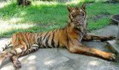 Un tigru de la Zoo a scăpat de depresie cu ajutorul a doi şoricei care i-au devenit prieteni