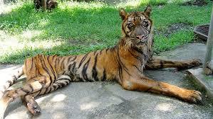 Un tigru de la Zoo a scăpat de DEPRESIE cu ajutorul a DOI ȘORICEI. Uite cum a fost posibil
