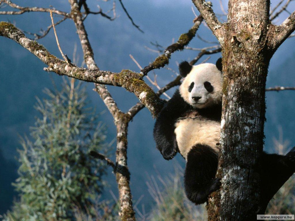 ursi panda1