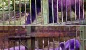 ursul violet
