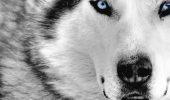 Lupul alb a mârâit infundat ca o avertizare. Parcă i-ar fi spus că se află pe calea cea bună dar să aibă grijă!