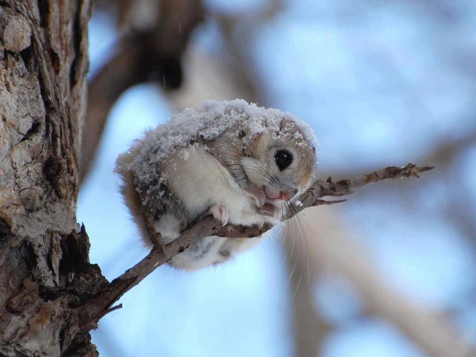 01 veverita zburatoare