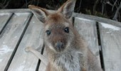 02-2 wallaby