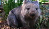 03 - wombat