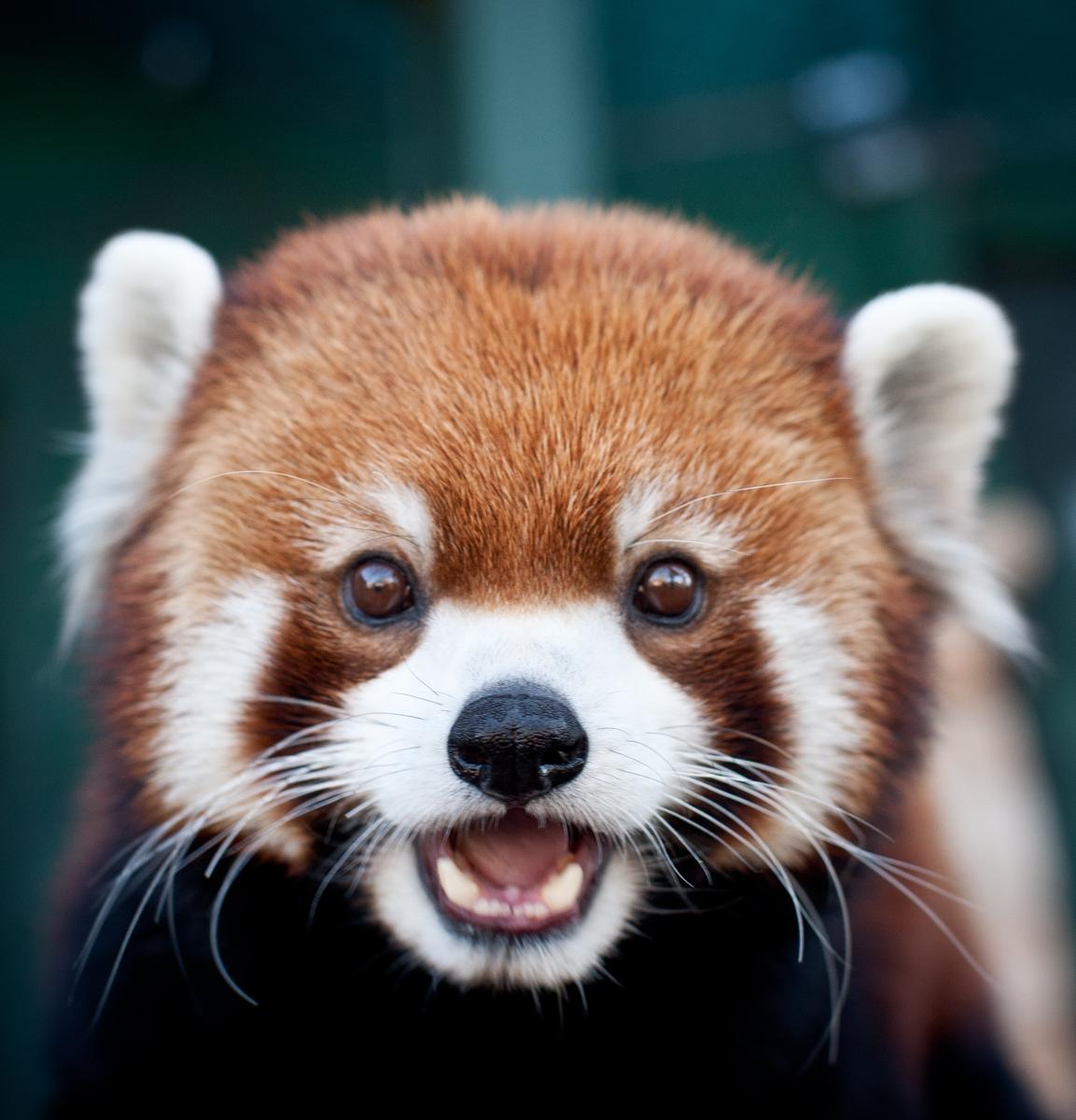 08 3-red panda