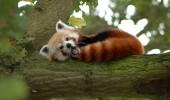 08 red panda
