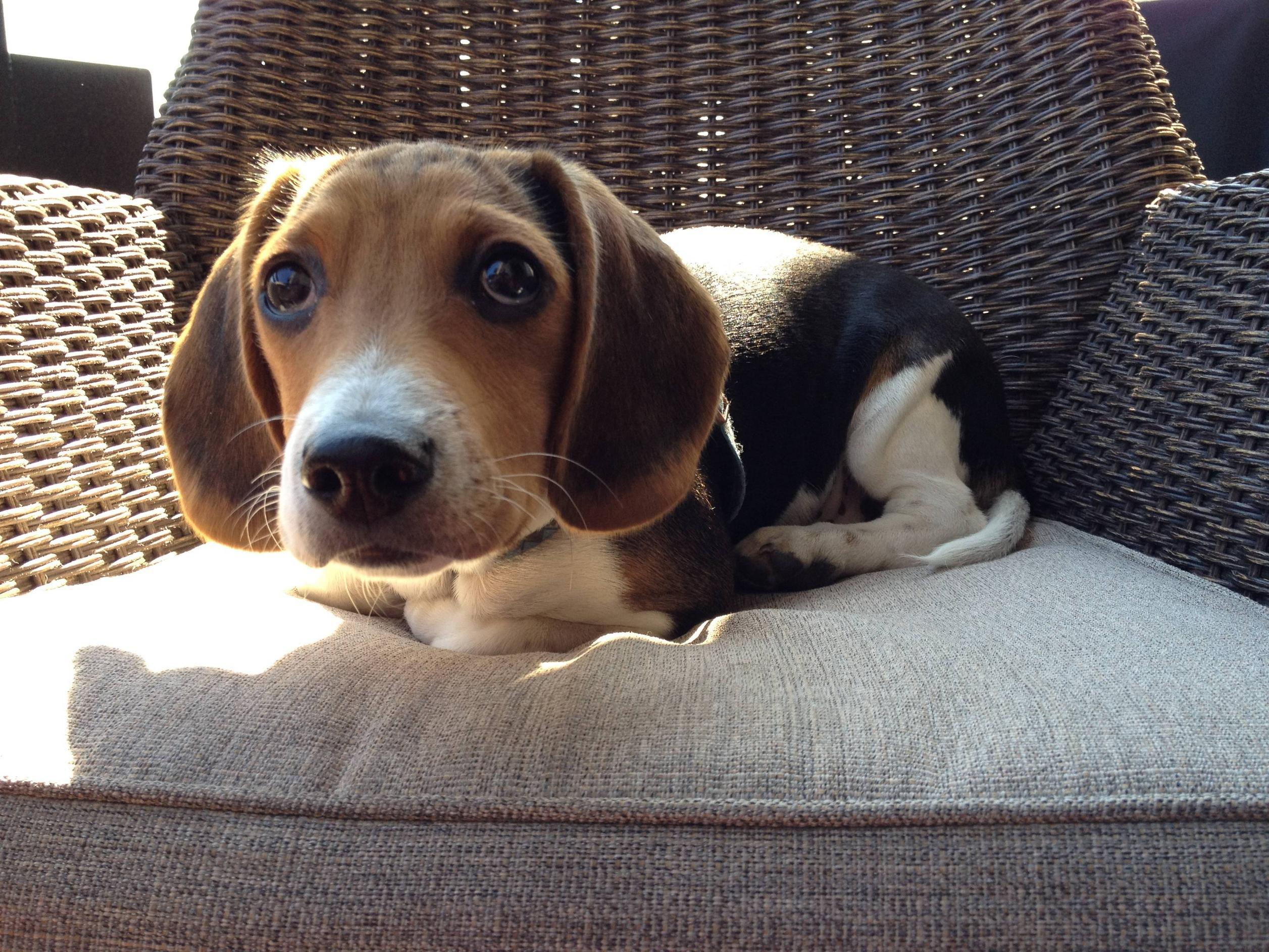 Animals___Dogs_Funny_beagle_dog_on_chair_049963_