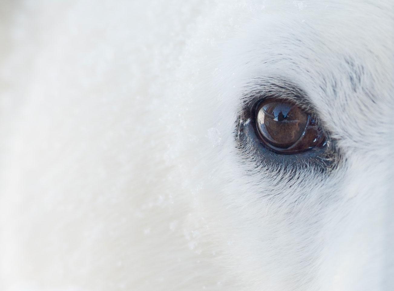 Eye-of-Polar-Bear