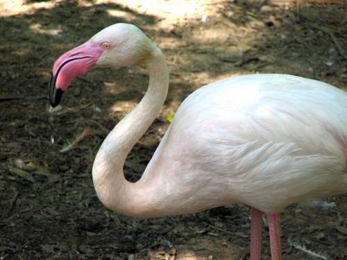 A murit cel mai bătrân flamingo din lume!