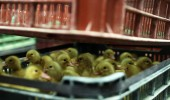 Goslings in a transportbox