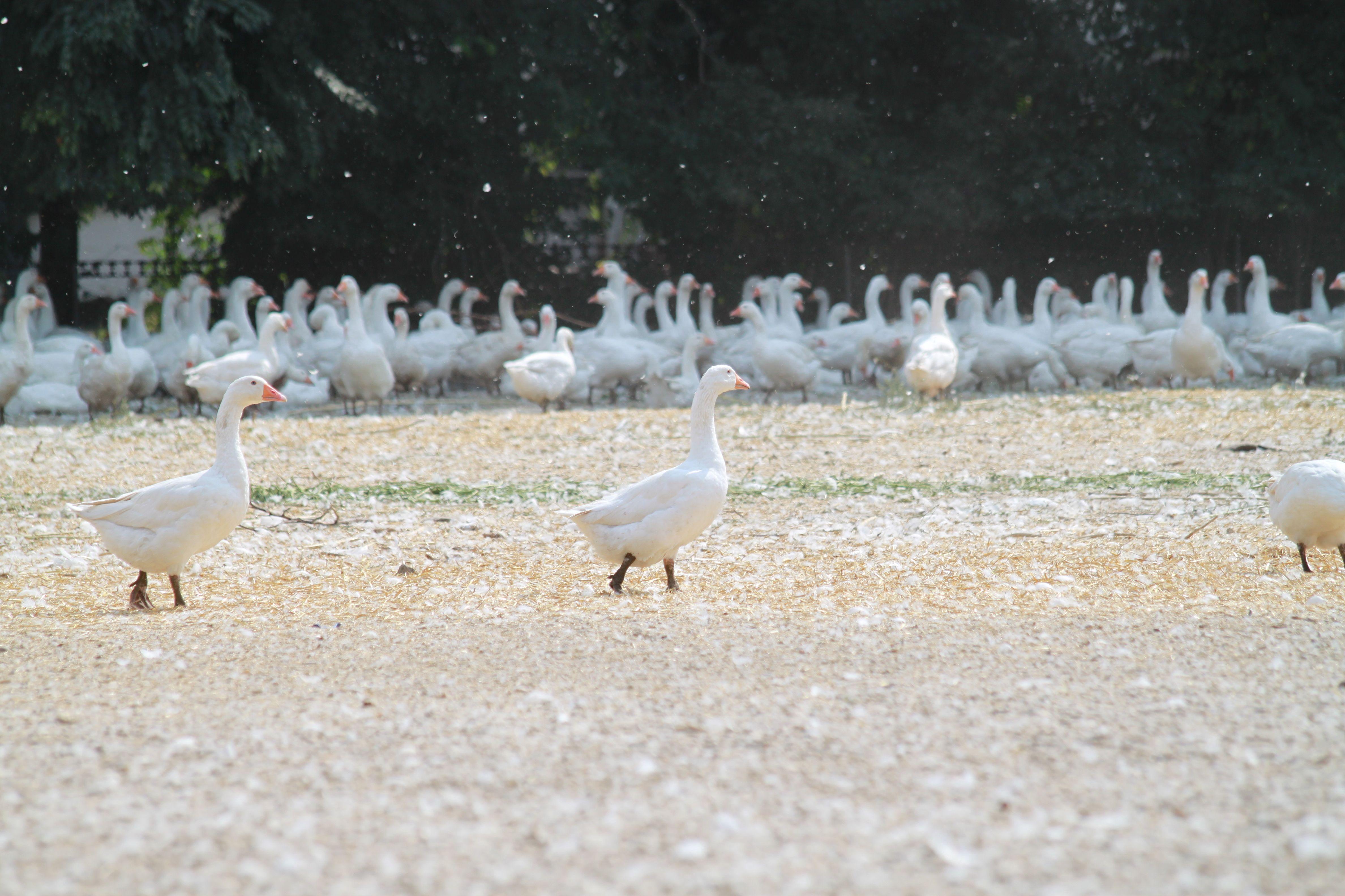 free-range Geese
