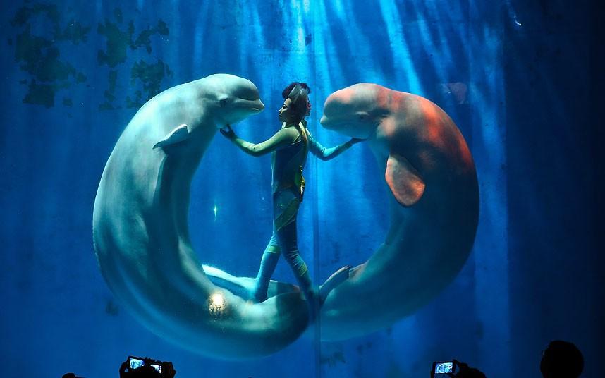 Spectacolul balenelor albe!
