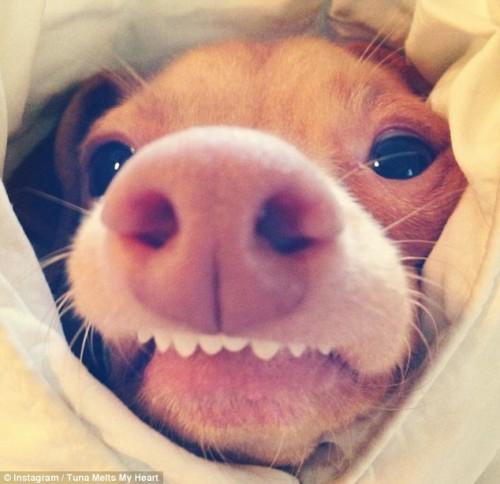 El e TUNA, metisul de Chihuahua-Şoricar care a topit inimile a 375.000 de utilizatori de pe Instagram