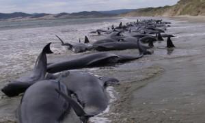 FENOMEN INEXPLICABIL. Zeci de balene au murit pe o plajă din Noua Zeelandă