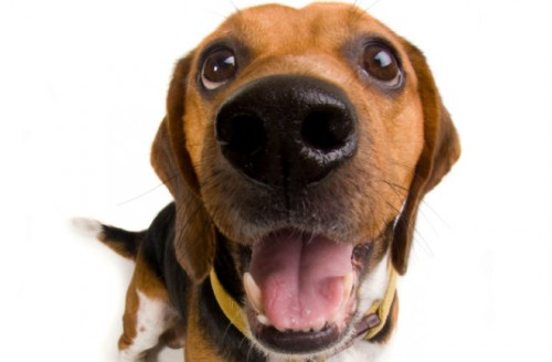 beagle 9