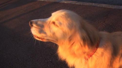 SUPER-AMUZANT. Un câine imită o sirenă! VIDEO
