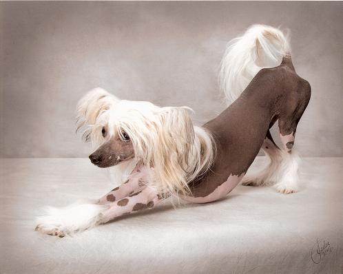 Crestatul Chinezesc, câinele care are nevoie de cremă cu protecţie solară şi masaje