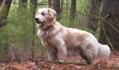 golden_retriever 4