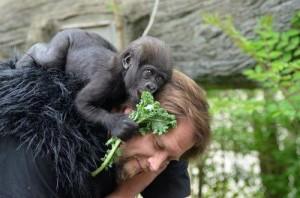 Un pui de gorilă a avut parte de 10 MAME ADOPTIVE! Niciuna nu făcea parte din specia micuțului. VIDEO