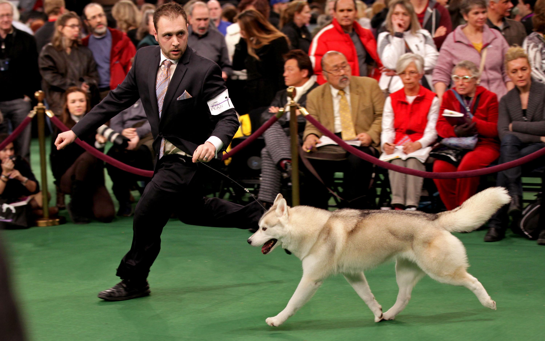 Westminster Kennel Club: Siberian huskie