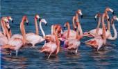 pasari flamingo