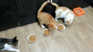 Cel mai puternic mănâncă mai mult. O pisică se luptă și pentru hrana suratelor sale. VIDEO