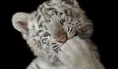 pui de tigru 1