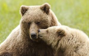 Senzaţional! Puii de urs stau în prejma mamei la fel ca şi copiii