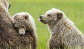 Puii de urs sunt ca si PUII DE OM! Uite-i pe fratiorii astia doi ce simpatici sunt