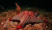 """Rodul unei iubiri interzise? A fost descoperită o stea de mare cu """"coadă de peşte""""!"""