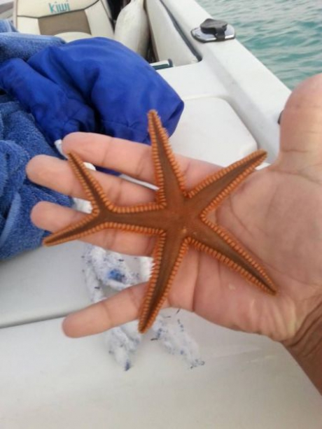 stea de mare