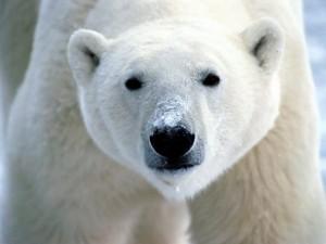 PARADOXAL. Un urs polar suferă din cauza frigului!