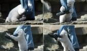 urs polar ataca un om