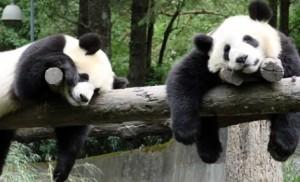 Fă cunoștință cu Tian Tian. A fost desemnat cel mai carismatic urs panda. VIDEO