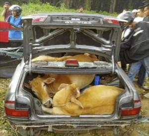 Au furat câteva vaci și le-au înghesuit într-o mașină!