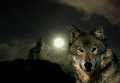 Ieri a fost Sânpetru de Iarnă, ziua în care lupii primesc hrană de la Sfântul Petru