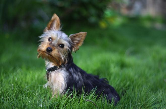 -yorkshire_terrier 5