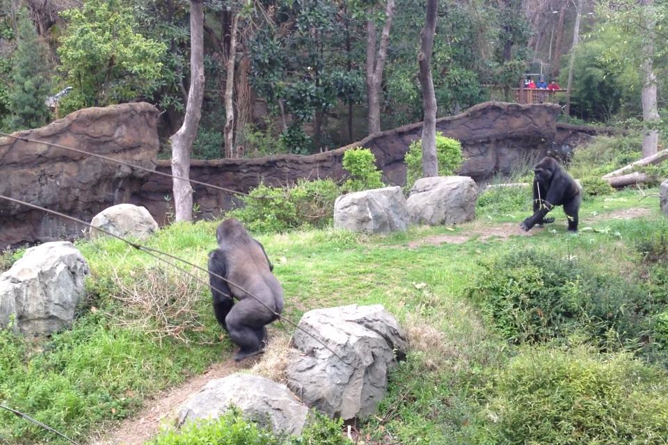 UNA DINTRE GORILE A FOST OMORATA LA O EXPOZITIE DE ANIMALE DE LA ZOO DALLAS. PRIMATA REUSISE SA FUGA....