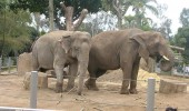 IN 2003, ZOO DE LA SAN DIEGO A IMPORTAT 11 ELEFANTI AFRICANI  DIN ELVETIA. ACESTIA TRAIAU IN LIBERTATE.  Read more: http://www.peta.org/features/zoo-animal-abuse/#ixzz2tgozWZKR
