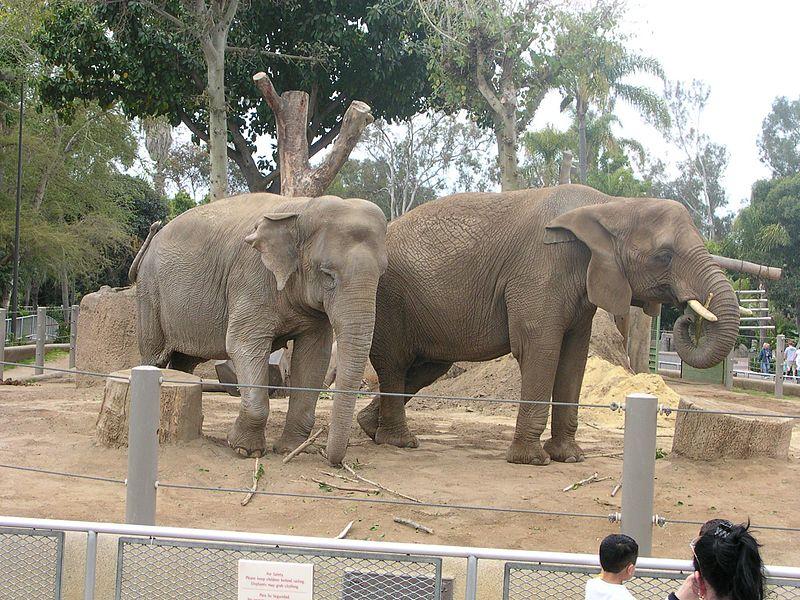IN 2003, ZOO DE LA SAN DIEGO A IMPORTAT 11 ELEFANTI AFRICANI  DIN ELVETIA. ACESTIA TRAIAU IN LIBERTATE.  Read more: http://www.peta.org/features/zoo-animal-abuse/#ixzz2tgozWZKR
