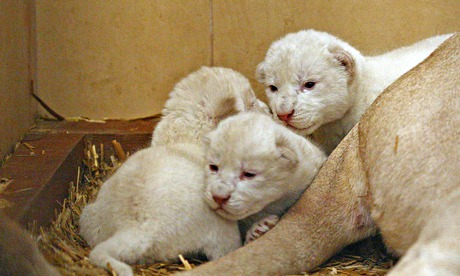 White lion cubs