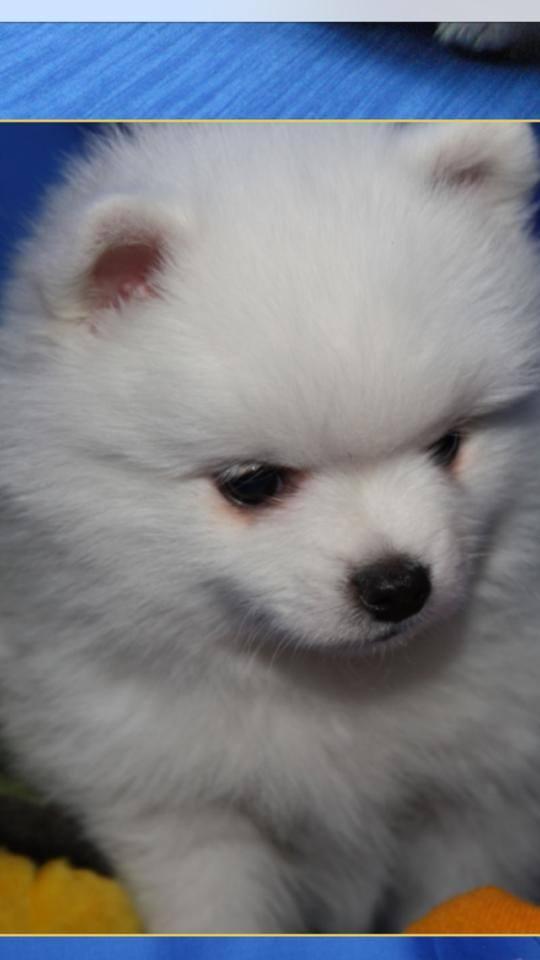 """""""Acesta este cadoul pentru Delia, de ziua ei"""", a postat Andreea pe Facebook, dupa ce a trimis avansul pentru Pomeranian."""