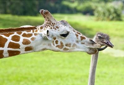 animale indragostite