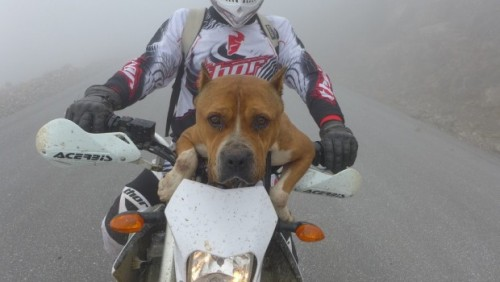 Povestea câinelui endurist: Un Pitbull înfometat s-a ţinut după un grup de motociclişti până când aceştia l-au pus în şa