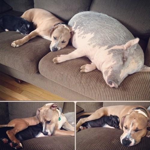 Doi porci, un Pitbull şi un Dog German sunt cei mai buni prieteni. Nici fraţii nu se au aşa!