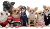 """Nu e o gluma! Haite de Chihuahua terorizeaza cartierele din Arizona! Grupurile de """"fiare"""" ataca chiar si copii!"""